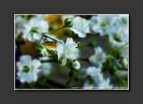 2013 - Baby's Breath White Flower - Lensbaby, Macro