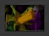 2013 - Frozen Daffodil