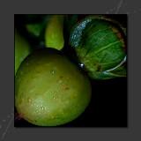 2013 - Hypericum Berry (Tutsan)