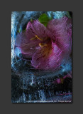 2013 - Flower in thin Ice