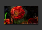 2013 - Canada Blooms - Poppy