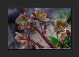 2013 - Canada Blooms - Hellebores