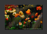 2013 - Canada Blooms - Poppies