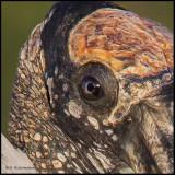 wood stork eye.jpg