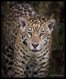 jaguar coming out of shadows.jpg