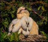 anhinga chicks huddling.jpg