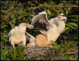 anhinga chicks awake.jpg