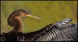 anhinga wing portrait.jpg
