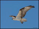 flying osprey2.jpg