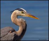 great blue heron portrait (2).jpg