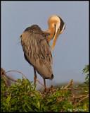 great blue heron preening.jpg