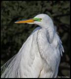 great egret half portrait.jpg