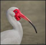 ibis portrait 2.jpg
