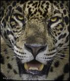 jaguar face.jpg