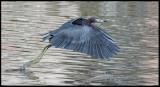 little blue heron flying.jpg