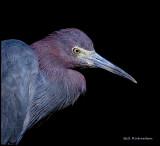 little blue heron portrait.jpg