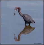 little blue heron reflection.jpg