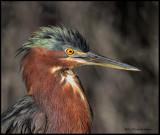 little green heron portrait.jpg