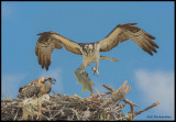 osprey adult w fish and chick.jpg