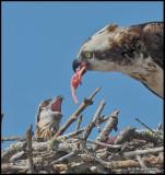 osprey feeding chick.jpg