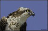 osprey portrait.jpg