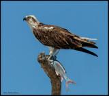 osprey w fish.jpg