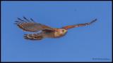 red shouldered hawk flying.jpg