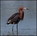 reddish egret.jpg