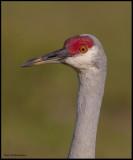 sand hill crane portrait.jpg