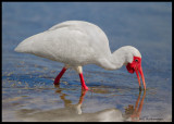 white ibis feeding.jpg