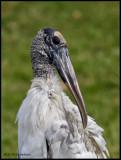 wood stork portrait..jpg