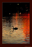 D701_5331_0912-BlackSwan.jpg
