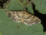 Salvinia Stem-borer Moth (5151)