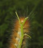 Virginian Tiger Moth Caterpillar (8137)