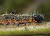 Angle-lined Prominent MothCaterpillar (7896)