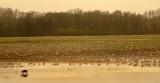 Hundreds of Greater Sandhill Cranes
