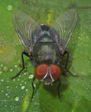 Houseflies, Fleshflies, Blowflies, Dung Flies and Related Flies