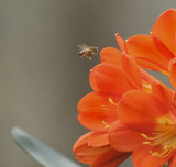 Honeybee on South African Clivia Plant