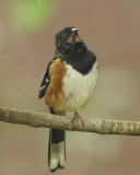 Eastern and Spotted Towhees