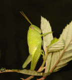 Bird Grasshopper Nymph