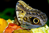 Owl Butterfly January 5
