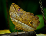Owl Butterfly January 7