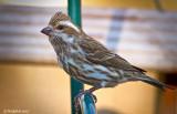 Tweety Bird March 4