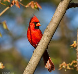 Red Bird March 29
