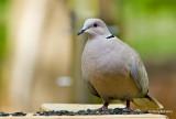 Eurasian Collard Dove April 17