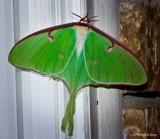 Luna Moth April 19