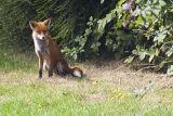 Foxy._1MG_1340.jpg
