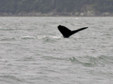 Humpback whale diving in Auk Bay,