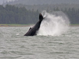 Humpback whale in Auk Bay