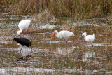 White and Glossy Ibises and a Snowy Egret